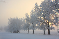 Dawn Sentinels (Loreen May Photography) Tags: trees winter white snow canada cold frost alberta cans2s scenicsnotjustlandscapes