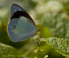 Butterfly... (Tony Fernando) Tags: macro nature canon butterfly shot photos insects snap images 100mm photographs srilanka usm f28 ef trincomalee stockphoto stockphotography stockimagery srilankanimages visitsrilanka2011 tonyfernando