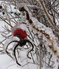 IMG_1316 (fchmksfkcb) Tags: schnee winter snow ice germany deutschland eis harz blankenburg hagebutte saxonyanhalt sachsenanhalt natureinwinter blankenburgharz naturimwinter deutscherwinter