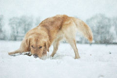 The unbreakable (stefan-fotografiert) Tags: schnee winter dog snow max male animal fight action hund tier schneechaos schneesturm sturm