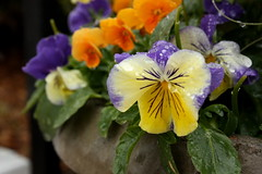 pansies in the snow (bonnie_lass13) Tags: flowers plant nc wilmington potted catchycolorsyellow catchycolorsgreen catchycolorspurple catchycolorsorange catchycolorsviolet