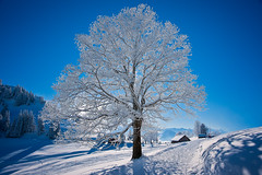 The white tree (Thierry Hennet) Tags: blue winter light sky sunlight white snow tree nature beauty zeiss landscape switzerland day outdoor sony snowcapped ambient baretree clearsky purity rigi coldtones a900 coldtemperature cz2470mmf28 gettyimagessalq1 pwwinter