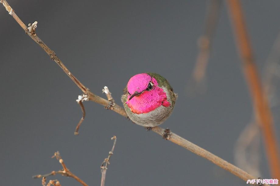 Anna's Hummingbird 122510-4
