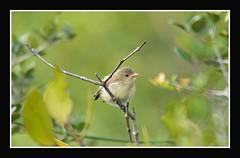 wishing you all happy and prosperous new year -2011 (Gurusan2010) Tags: birds newyear tenkasi tickellsflowerpecker canoneos400d dicaeumerythrorhynchos palebilledflowerpecker tamilnadubirds sigma120400