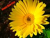 I hope your New Year is as bright as this flower (Molly258) Tags: holycreationsofnature excellenceofholycreationsofnature