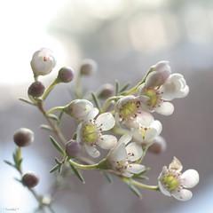 (*Twinkel*'s photostream) Tags: flowers light flower macro closeup l1 dof wax bloem justcropped eerstebloemenfotovanhetjaar
