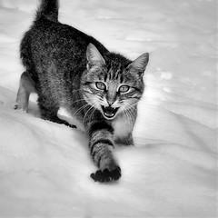 la temible gateta de les neus / the fearsome snow kitten (Ferran.) Tags: snow cat catalonia gata catalunya gat pyrenees neu ripolles queralbs