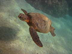 swimming turtle (bluewavechris) Tags: ocean life blue sea nature water animal coral swim hawaii sand marine underwater snorkel turtle reptile wildlife dive shell maui reef creature flipper freedive