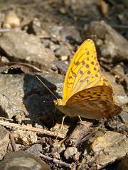Nymphalidae, Argynnis sp.