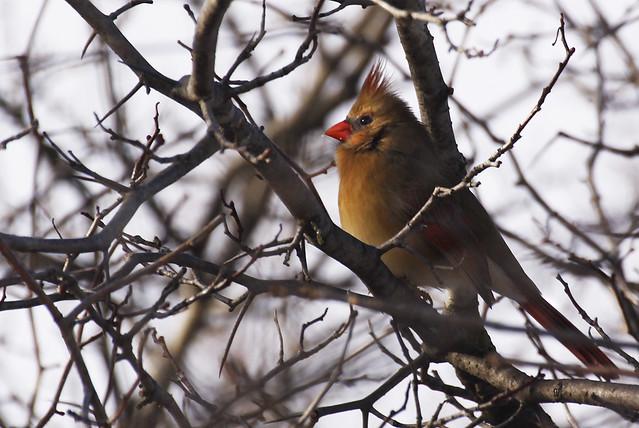 pretty cardinal2