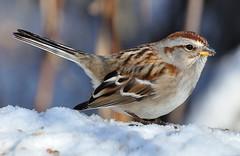 American Tree Sparrow DSC_1906a (f6.1-f8.0) Tags: park cambridge ontario canada tree bird birds riverside american sparrow whitethroated nikond90