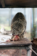 James Godwin-2442 (Jahled71) Tags: charity animal asian asia wildlife conservation endangered snowleopard captivity carnivore zoology panthera zoological carnivora felidae terrymoore pantherinae uncia catsurvivaltrust