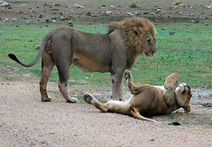 Lion & Lioness Relaxing 1