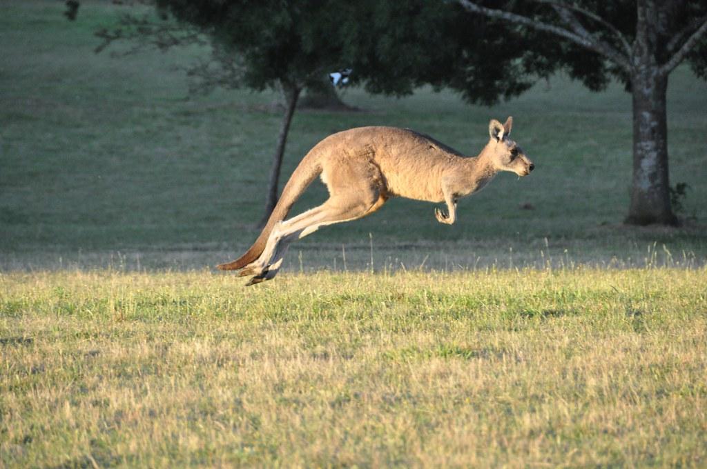 Kangaroo in Flight by Chris_Samuel, on Flickr