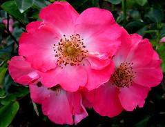 Pink Elegance (Puzzler4879) Tags: pink flowers pinkflowers floralfantasy fragrantflowers wonderfulphotos perfectpetals a580 excellentflowers excellentsflowers worldofflowers wonderfulworldofflowers mimamorflowers canona580 floresporlapaz canonpowershota580 powershota580 100commentgroup flickrflorescloseupmacros amazingdetails greatshotss mamasbloomers naturewithallitswonders mygearandme mygearandmepremium mygearandmebronze mygearandmesilver mygearandmegold perfectpetalsprestigiousgroup mygearandmeplatinum mygearandmediamond weloveallflowers silveramazingdetails exquisiteflowersflowersarrebaeutifulmacroselsalvadormixedflowersfaunaandfloraoftheworld flowers4you pilisbeautifulphotogallery