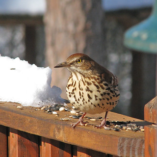 yard bird line up:  Brown Thrasher