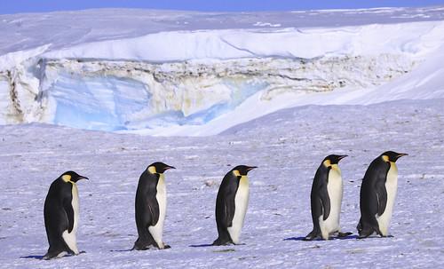 [フリー画像] 動物, 鳥類, ペンギン科, コウテイペンギン・皇帝ペンギン, 201101221700