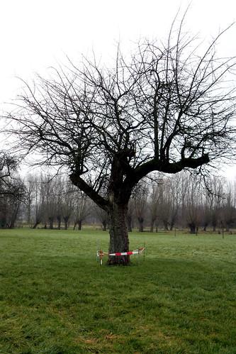 runaway tree