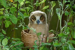 baby great horned owl (helenpriem) Tags: wool owl greathornedowl babyowl needlefelted babygreathornedowl helenpriem
