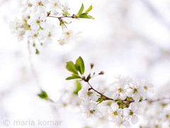 Cherry tree blossom in spring (Maria Komar) Tags: pink flowers blue sky white plant flower macro tree nature floral beautiful beauty closeup garden easter season cherry leaf spring flora soft branch dof close natural blossom background seasonal tranquility orchard fresh petal growth zen bloom april environment buds blossoming bud cheerful delicate botany tranquil tender freshness springtime blooming
