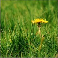 mniszek... (Emitla) Tags: natura tunbridgewells przyroda trawa mlecz ziele mniszeklekarski trawka