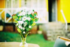 Flowers (saviorjosh) Tags: flowers slr film daisies nikon dof bokeh courtyard negative 100 analogue agfa ultra f3t