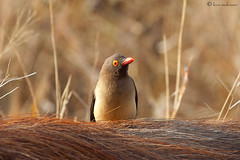 Warthog & Red-billed Oxpecker (leendert3) Tags: redbilledoxpecker warthog ngc sunrays5 coth5 npc