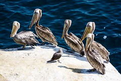 Pelicans ((Jessica)) Tags: lajolla sandiego california beach ocean coast pelicans birds wildlife pelican water