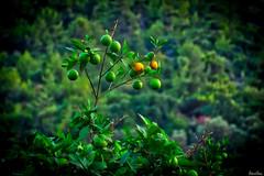 Citrus tree, Lebanon (Salim El Khoury) Tags: tree green trees citrus lemon lebanon nature colourful colorful bokeh nikon d7200 vivid perspective creative save earth