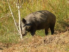WildBoar having a scratch. (noelbarke) Tags: wild boar scratch forest dean nagshead reserve rspb