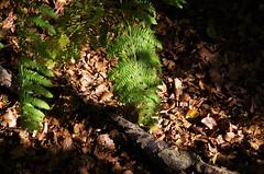 Autumn forest floor (Sundornvic) Tags: leaves fern autumn brown green forest woods trees haughmondhill