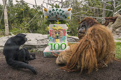 San Diego Zoo Turns 100 (San Diego Zoo Global) Tags: sandiegozooglobal2016 animals nature conservation sandiego travel centennial orangutan primate ape