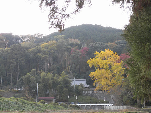 「乳銀杏」の紅葉がピーク『葛城一言主神社』@御所市