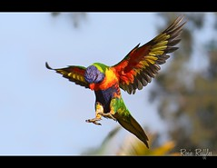 Rainbow Lorikeet flying (Vanessa Mylett) Tags: life wild sky color colour macro bird nature beautiful birds animal closeup canon fly flying inflight amazing interesting wings movement eyes colorful bright action bokeh background wildlife flight wing australian beak feathers lorikeet parrot australia best sharp landing 7d queensland colourful rainbowlorikeet flapping parrots lorikeets plumage australiana australianwildlife 100mmf28 beaudesert trichoglossushaematodus psittacidae scenicrim psittaciformes 100mmcanon borderfx canon7d slblanding 7dcanon earthnaturelife 100mm28l canon7deos stheast