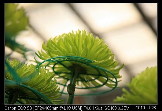 20101128F50綠絲菊
