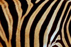Piel de cebra (Fotos de vida.) Tags: barcelona naturaleza nature animals zoo tiere zebra animales animaux animais dieren  animali animale dyr elimet djur cebra piel  hayvanlar zwierzta  hewan ivotinje