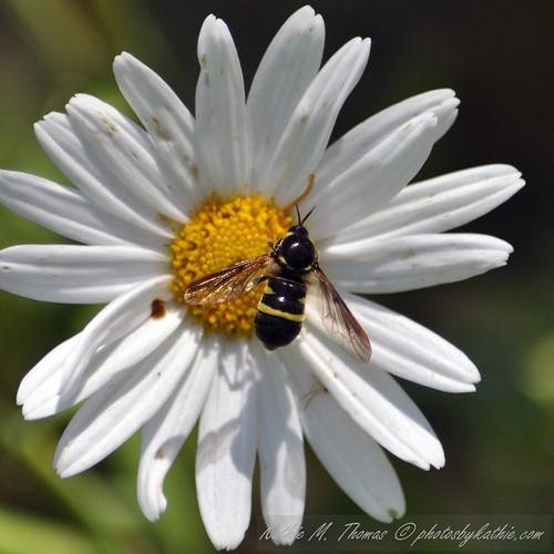 shiny bug on daisy