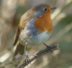 Robin (AlexRobson98) Tags: nature robin lens big minolta sony reserve beercan waters a200 7021