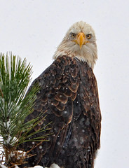 I've had enough of you (Deby Dixon) Tags: bird nature pinetree photography nikon eagle wildlife baldeagle idaho raptor perched deby coeurdalene allrightsreserved 2010 lookingatme naturephotographer avianexcellence debydixon debydixonphotography amazingwildlifephotography tellingmetogoaway