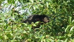 Binturong II (Luiz Edvardo) Tags: thailand nationalpark bearcat binturong asianbearcat arctictisbinturong khaoyai wildlifereserve khaoyainationalpark viverridae palawanbearcat schleichkatze marderbr