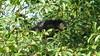 Binturong II (Luiz Edvardo) Tags: thailand nationalpark bearcat binturong asianbearcat arctictisbinturong khaoyai wildlifereserve khaoyainationalpark viverridae palawanbearcat schleichkatze marderbär