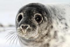 Cute seal (vic_206) Tags: uk snow animal nieve seal foca primerplano donnanook canon300f4lis canoneos7d