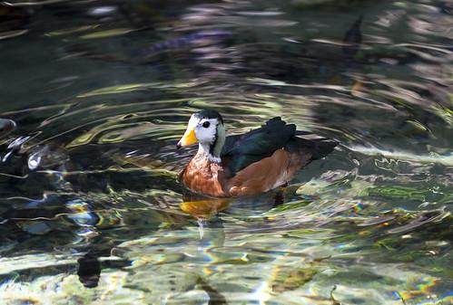 11-10-Disney-Duck