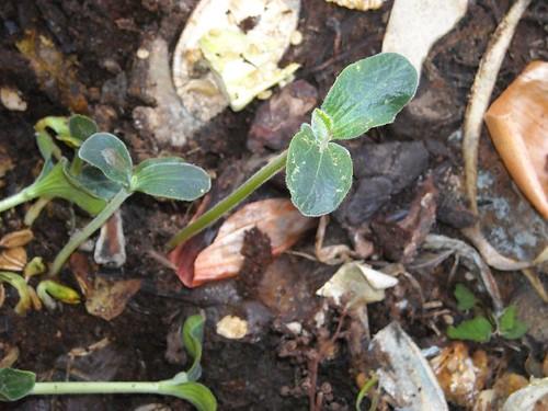 在堆肥場長出來的小苗