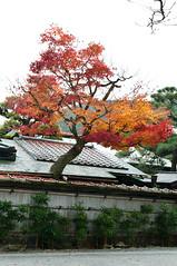Kyoto-56.jpg (maurizio.mwg) Tags: travel autumn tree fall nature beauty japan temple nikon kyoto shrine gates fallcolors nippon tradition torii giappone d300 riyokan kikkor redleavs