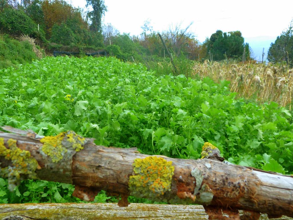 broccoli fields forever