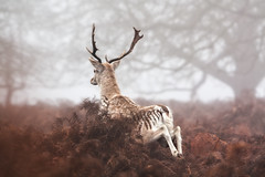 (dav) Tags: uk morning winter england brown mist london animal animals jump europe run richmond deer antlers bracken uni leap richmondpark canonef70200mmf28lis canon450d dav