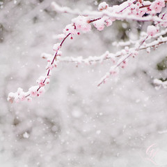 Pink Snow (georgianna lane) Tags: pink trees winter snow tree ice march spring blossom hybrid ornamental doubleflower floweringplum hillhaven prunusxblireiana blireianaplum