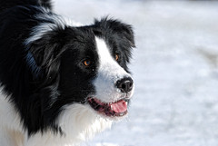 Focus Much? (WendysPaws) Tags: winter pets snow outdoors nikon bordercollie sosweet dcp d80 heintenselook