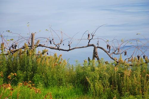 rotting vines and sea
